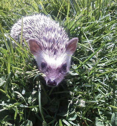 Hedgehog resident out for a stroll last summer