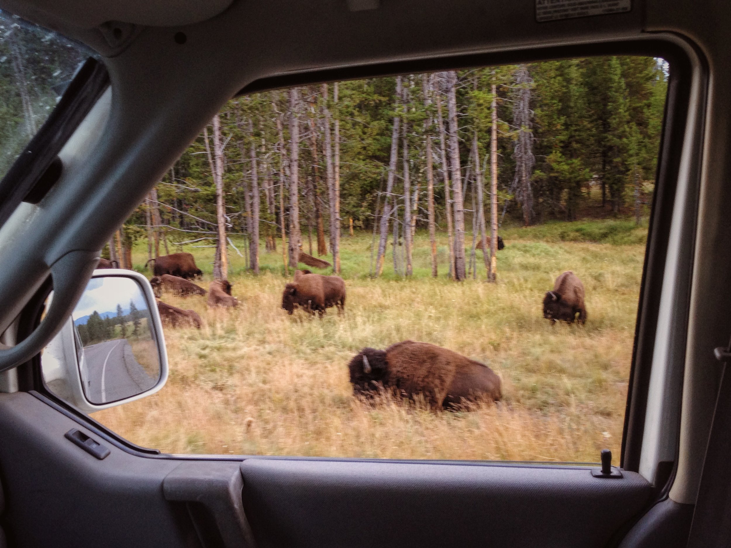 Bison on the side of the road in Yellowstone