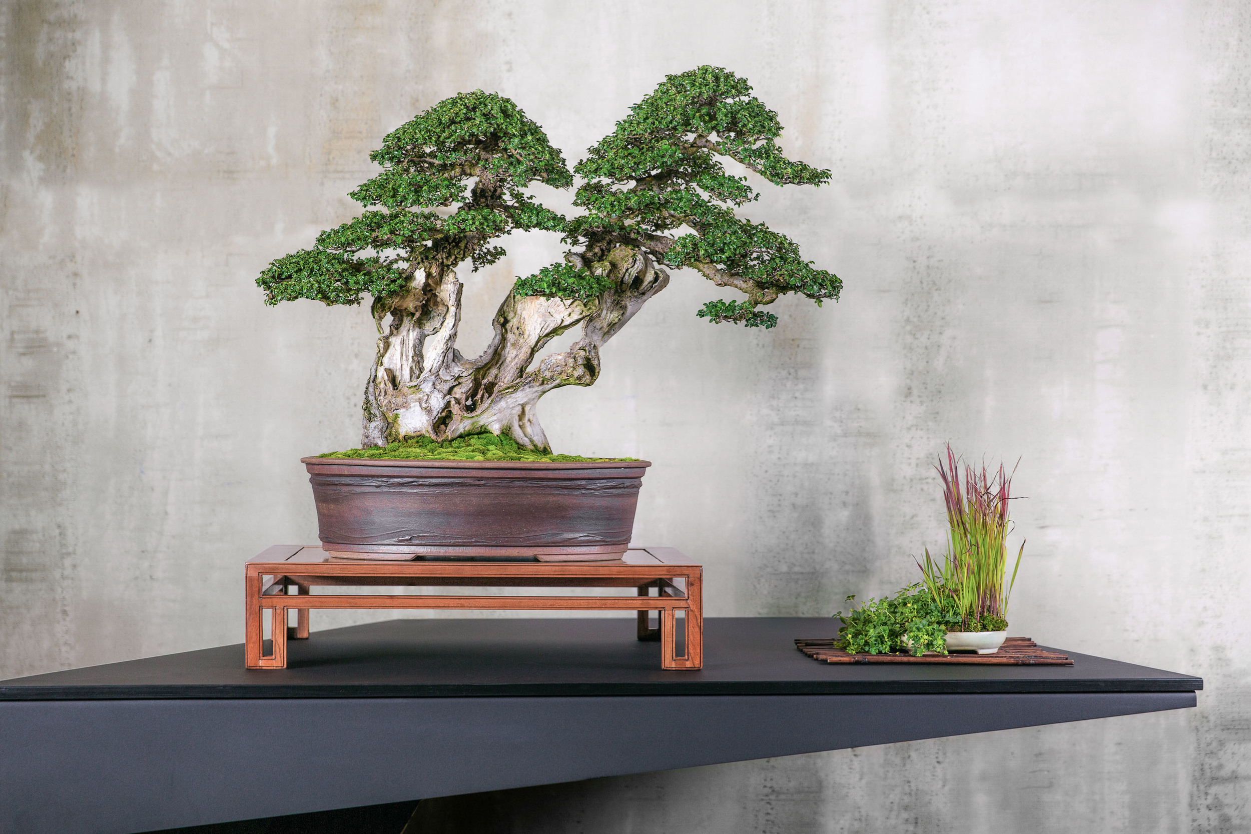 19 CHINESE ELM