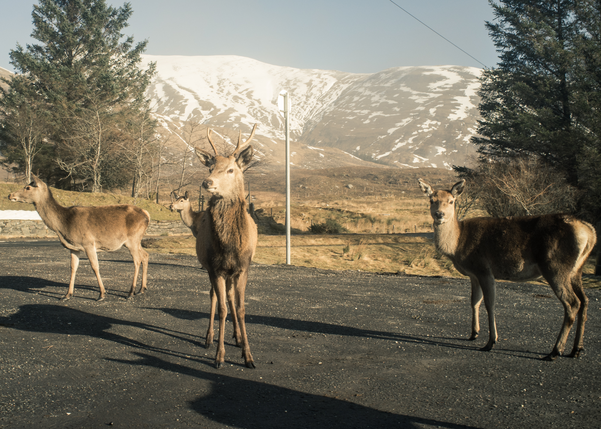 Wild Deer along the A87 from Fort William to Skye