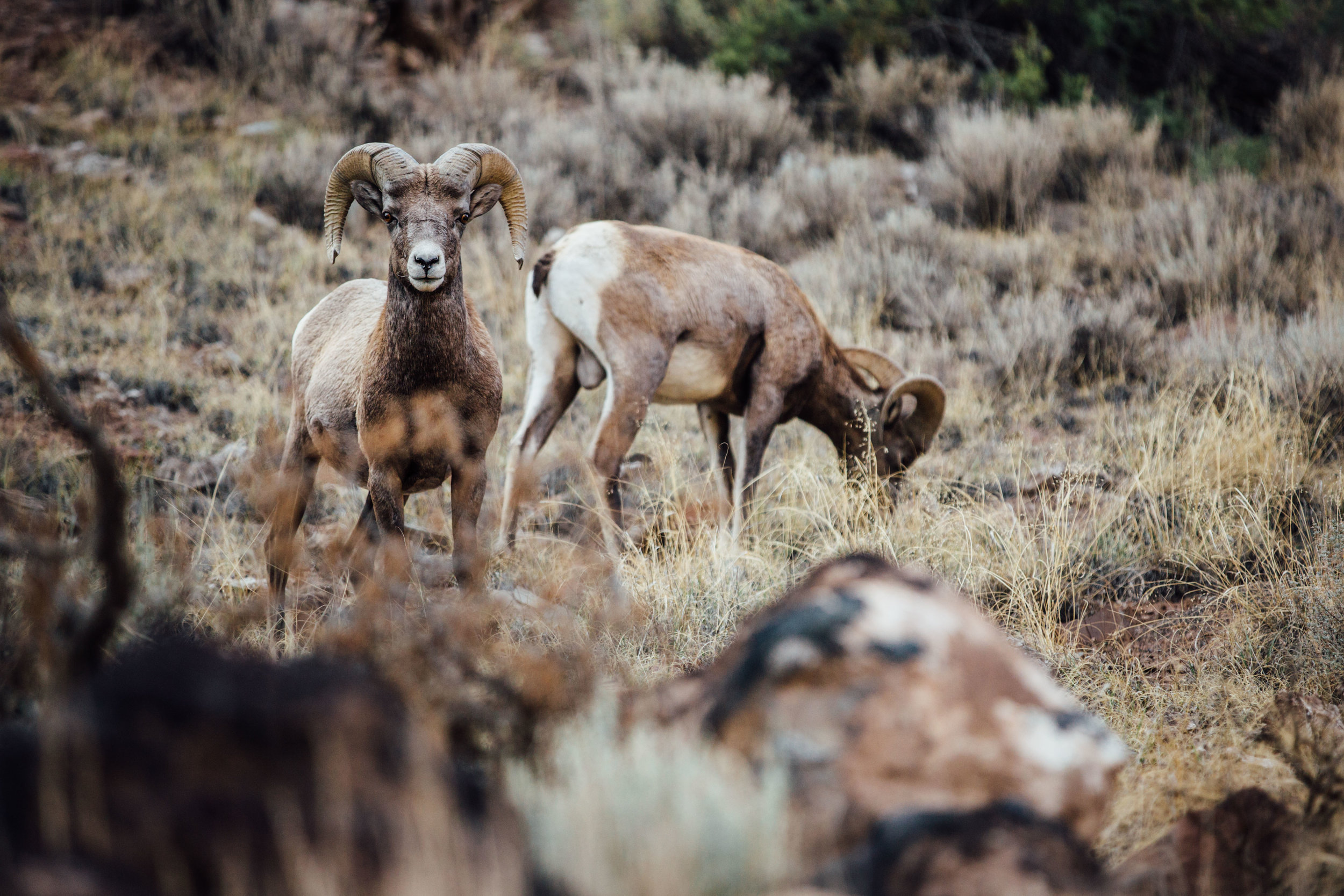 Big horn sheep grazing nearby the road.