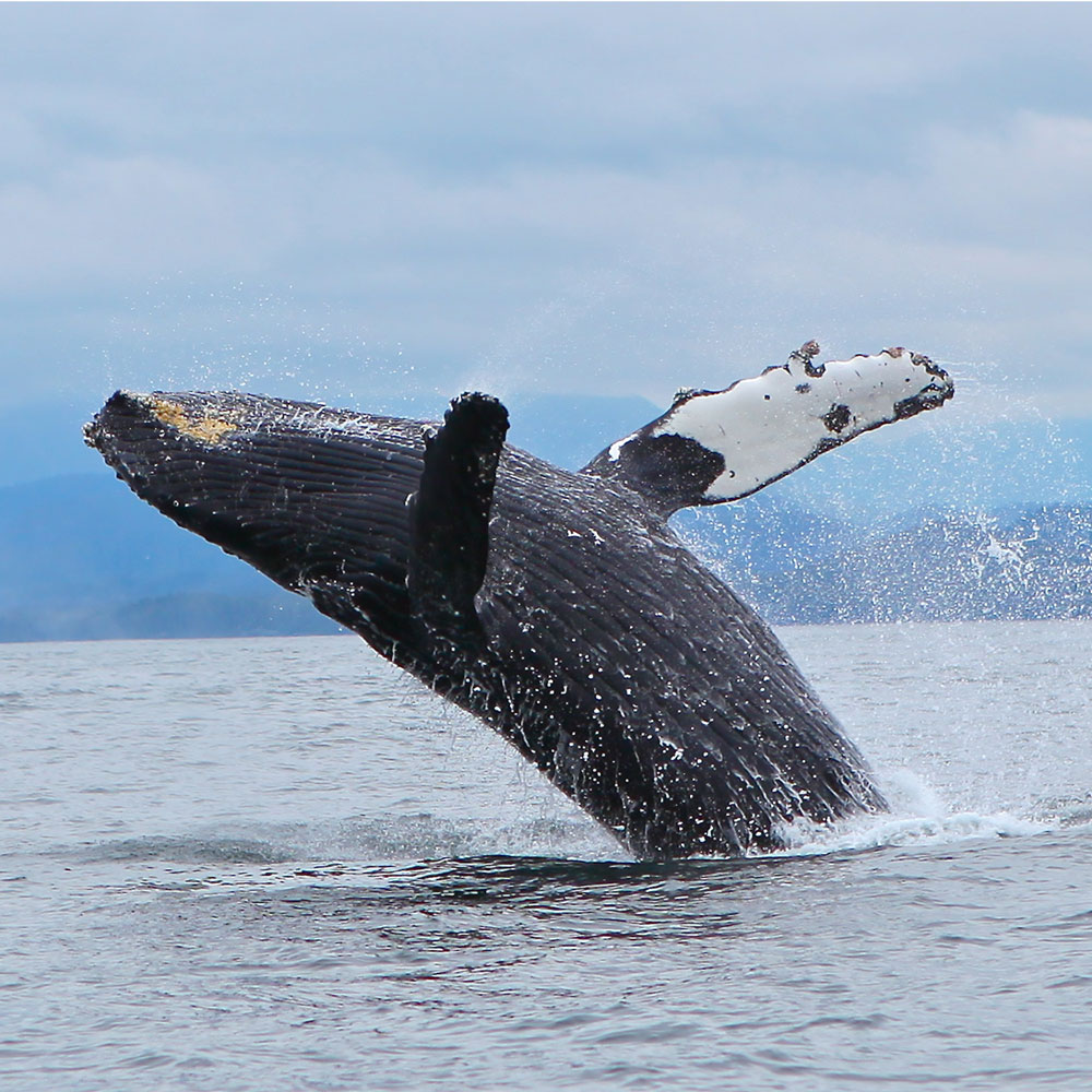 breaching-whale-west-coast-canada.jpg