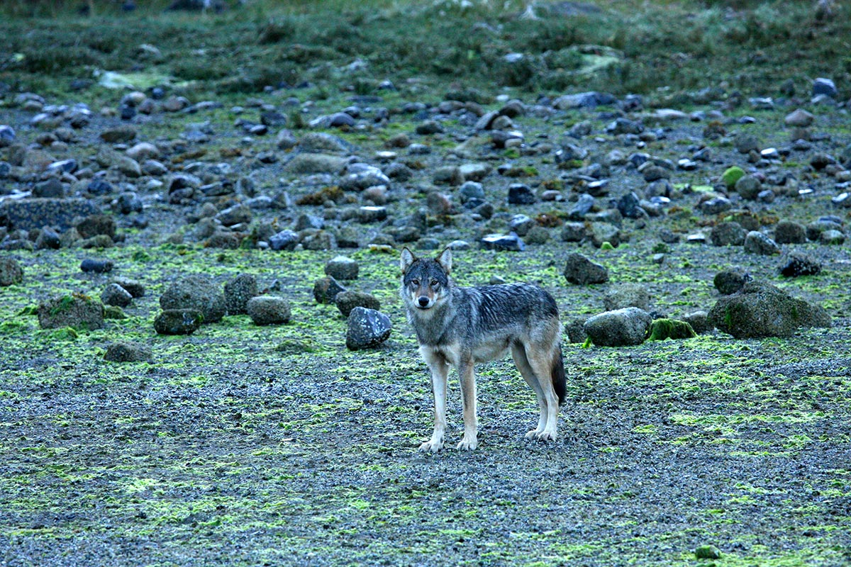 Not as common as seeing Black Bears, but sometimes we're lucky and see Coastal Wolves in Clayoquot Sound.