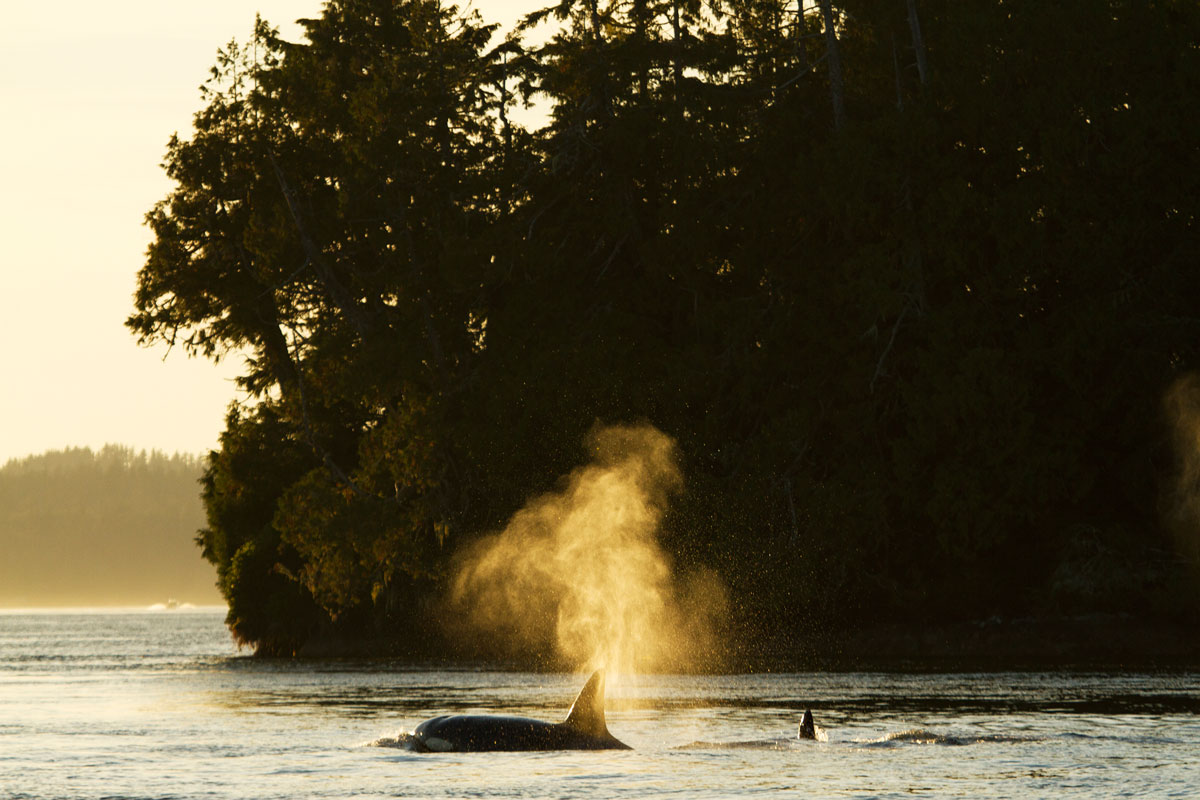Transient Killer Whale off Vancouver Island Coast.