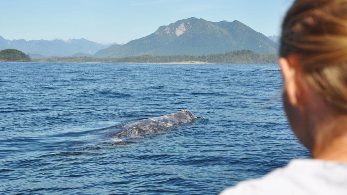 Migratory Gray Whale off the coast in Tofino, BC.