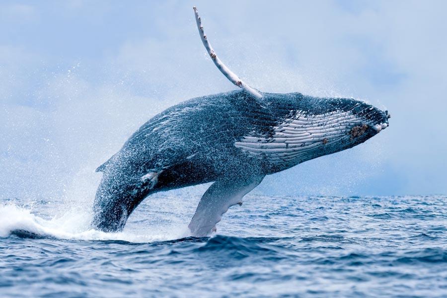 Humpback Whale Breaching off the Tofino Coast. Vancouver Island, BC.