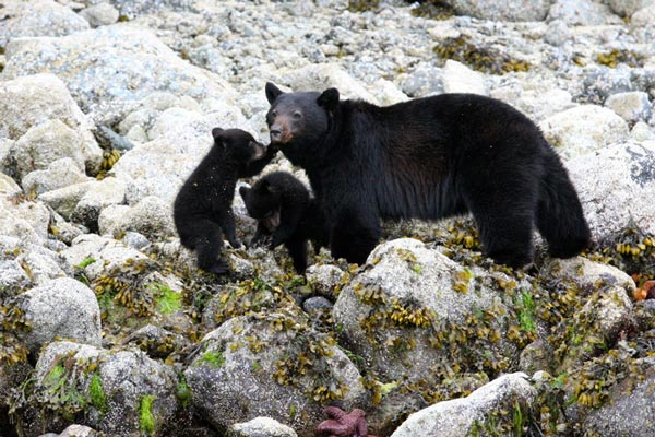 Black bear and her cubs in the intertidal zone. Tofino, BC.