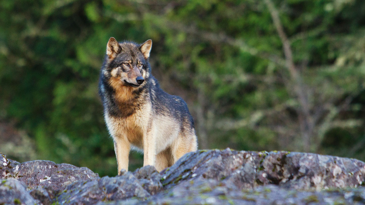 A wolf in the wild, photo by our guide and your photo instructor - Kyler Vos.