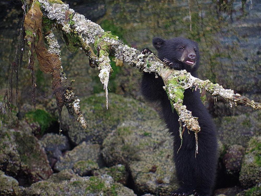 Black Bear Cub. Photo: Ron L'Amoureux