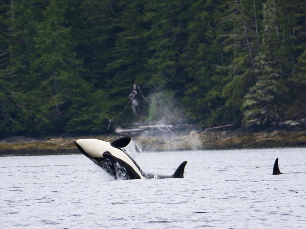 Pod of Orcas. Photo: CJ Agnies