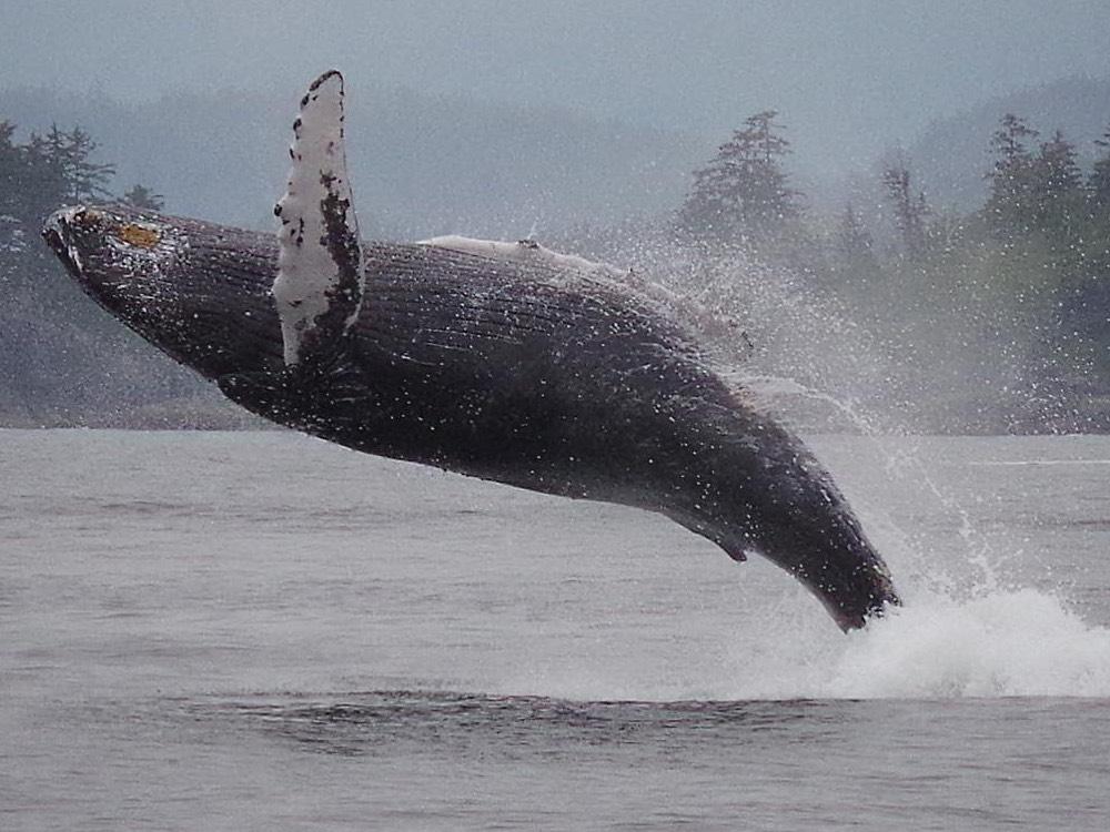 Humpback Whale. Photo: Ron L'Amoureux