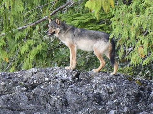 Lone Coastal Wolf. Photo: Andrew Eaton