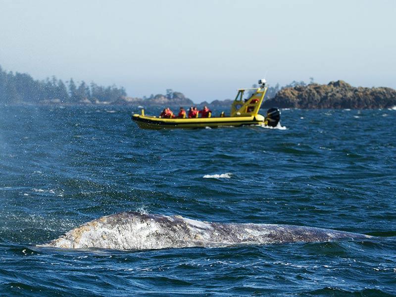 grey-whale-zodiac-boat-watching.jpg