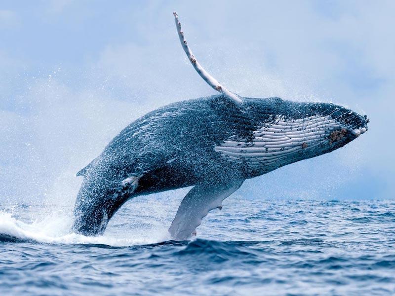 humpback-whale-breaching-close-up.jpg