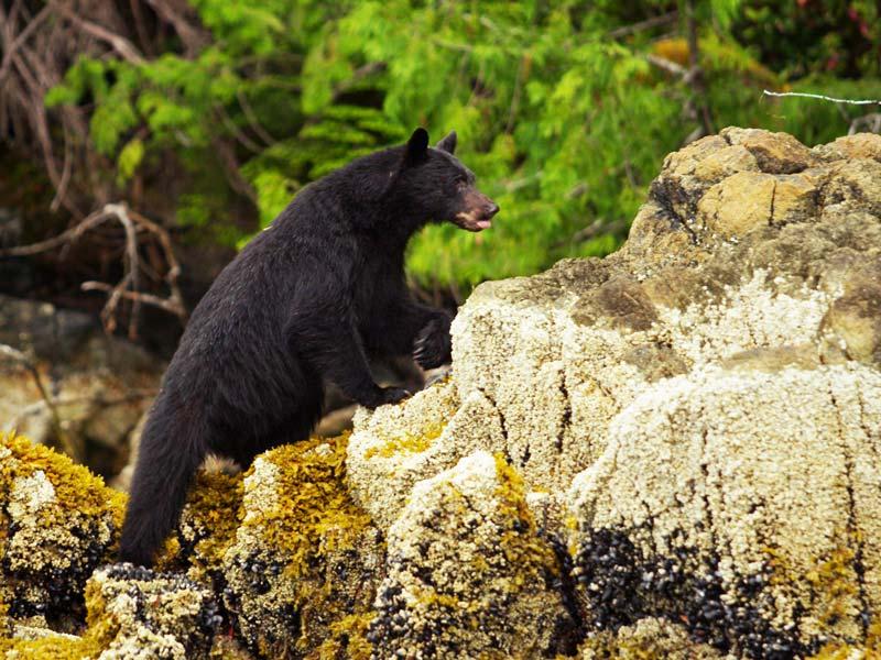 bear-watching-tofino-ultimate-adventure.jpg