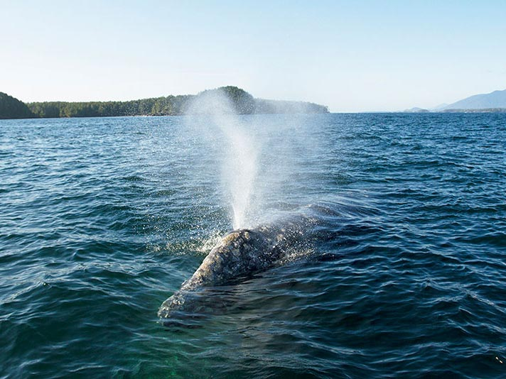 Gray whale spout for a group of Tofino whale watchers