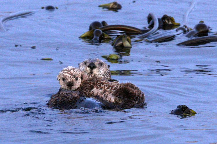 sea-otters-clayoquot-sound-boat-tour.jpg