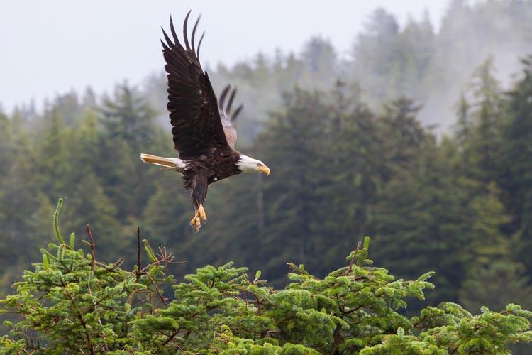 bald-eagle-tofino-bc.jpg