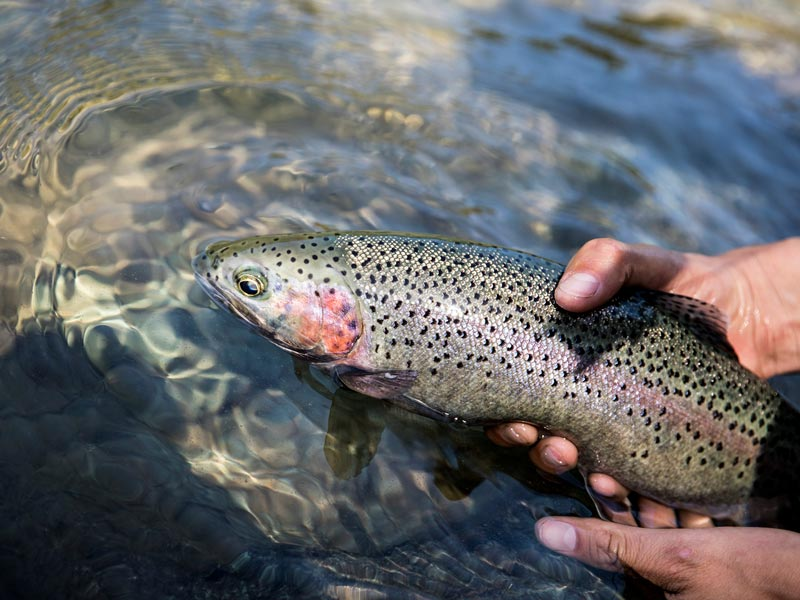 Our guide holding an alpine rainbow trout in a river near Clayoquot Sound.