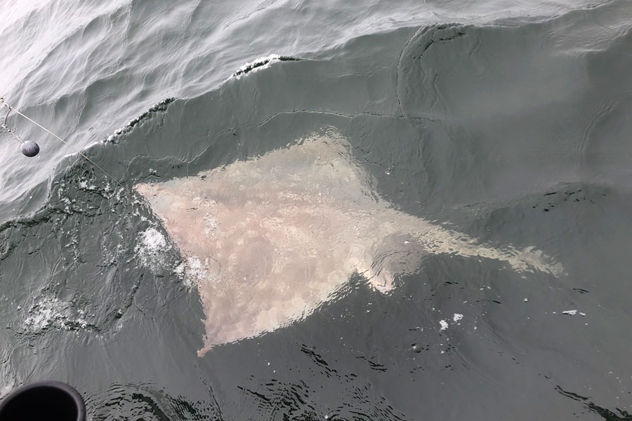 A large halibut that we caught and released