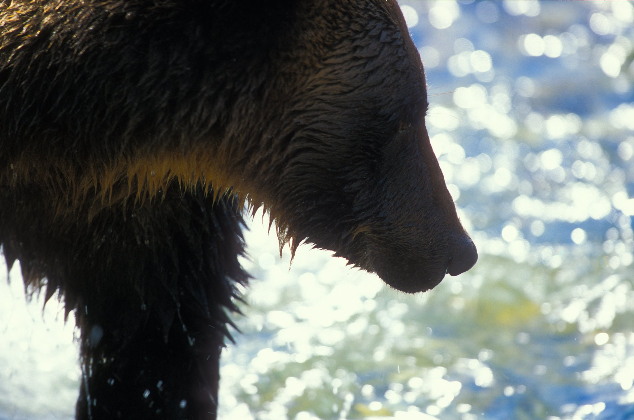Grizzly by Walter Mather.jpg