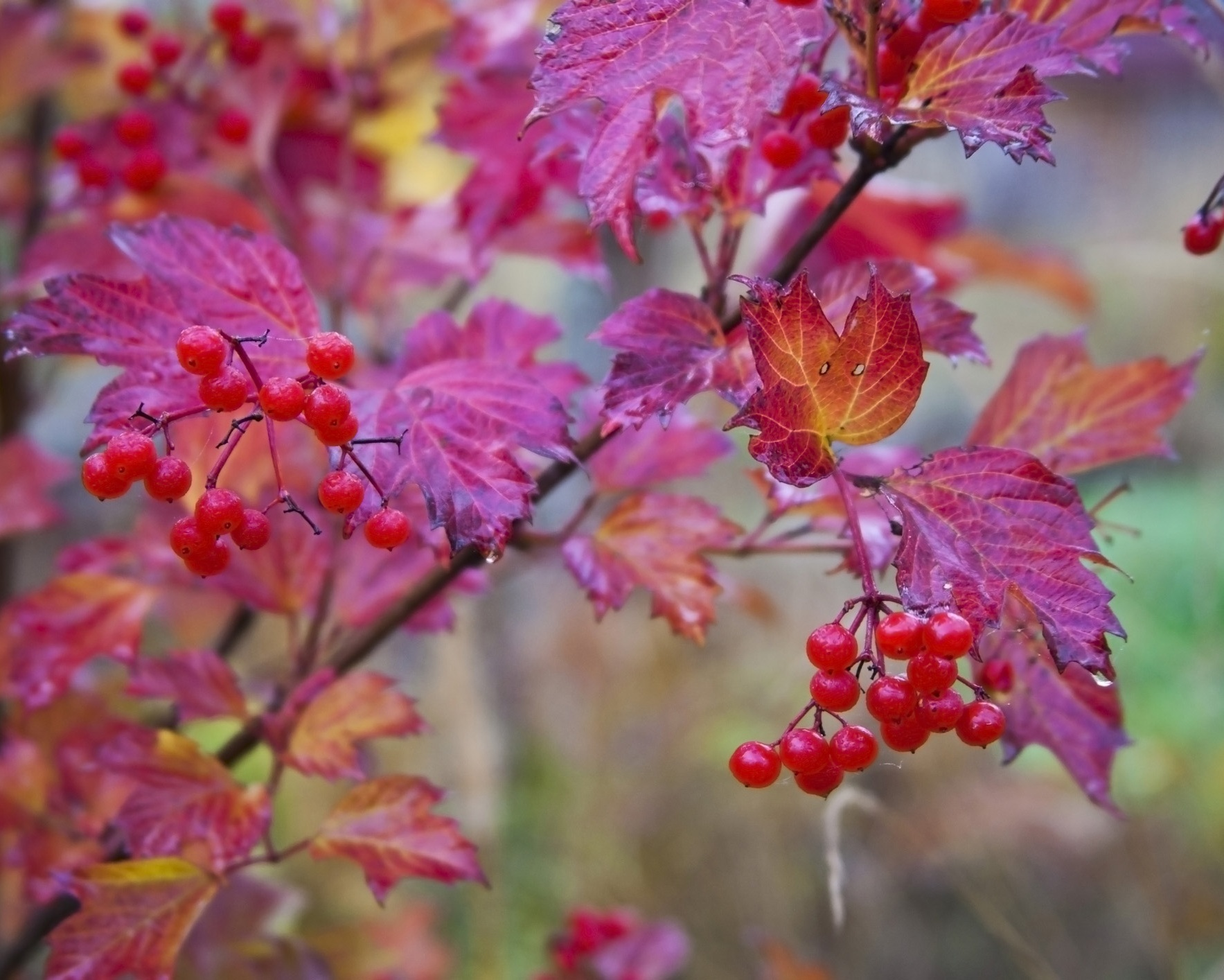Viburnum+berries+in+autumn.jpg
