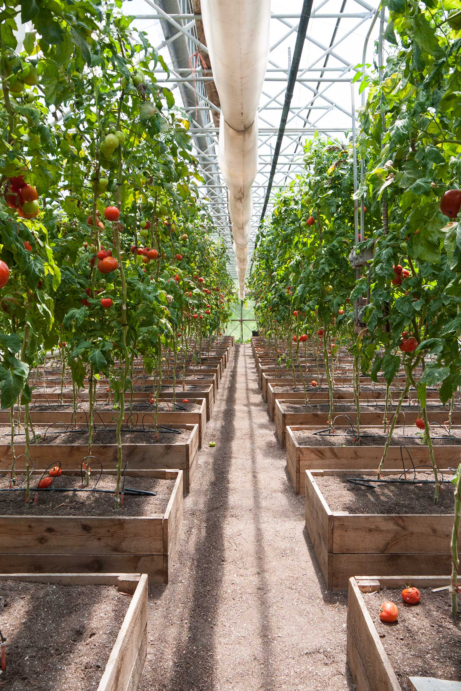 organic-tomato-farms.jpg