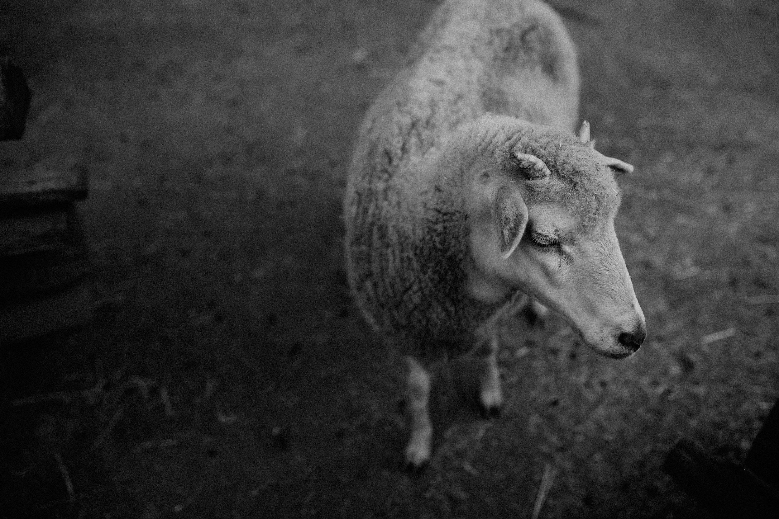 sheep-5056.jpg