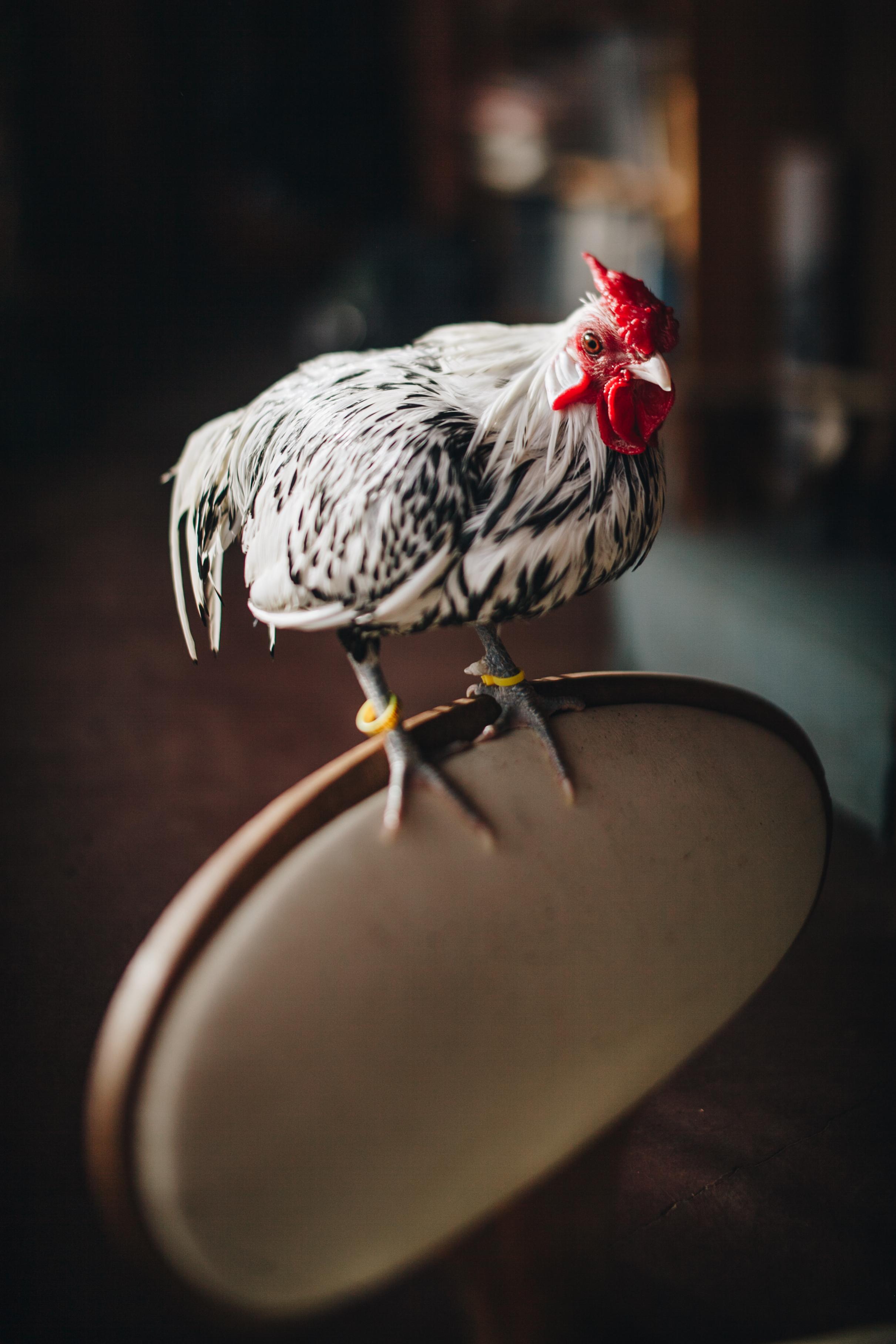 raven-chickens-7868.jpg
