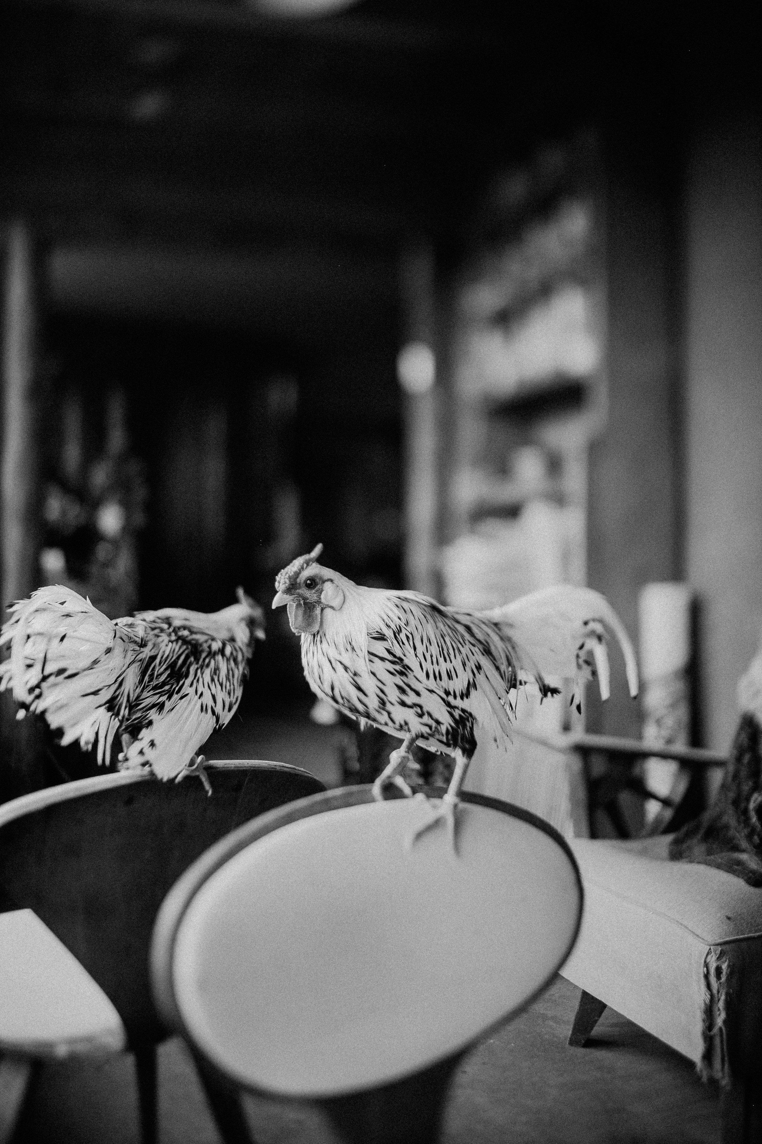 raven-chickens-7880.jpg