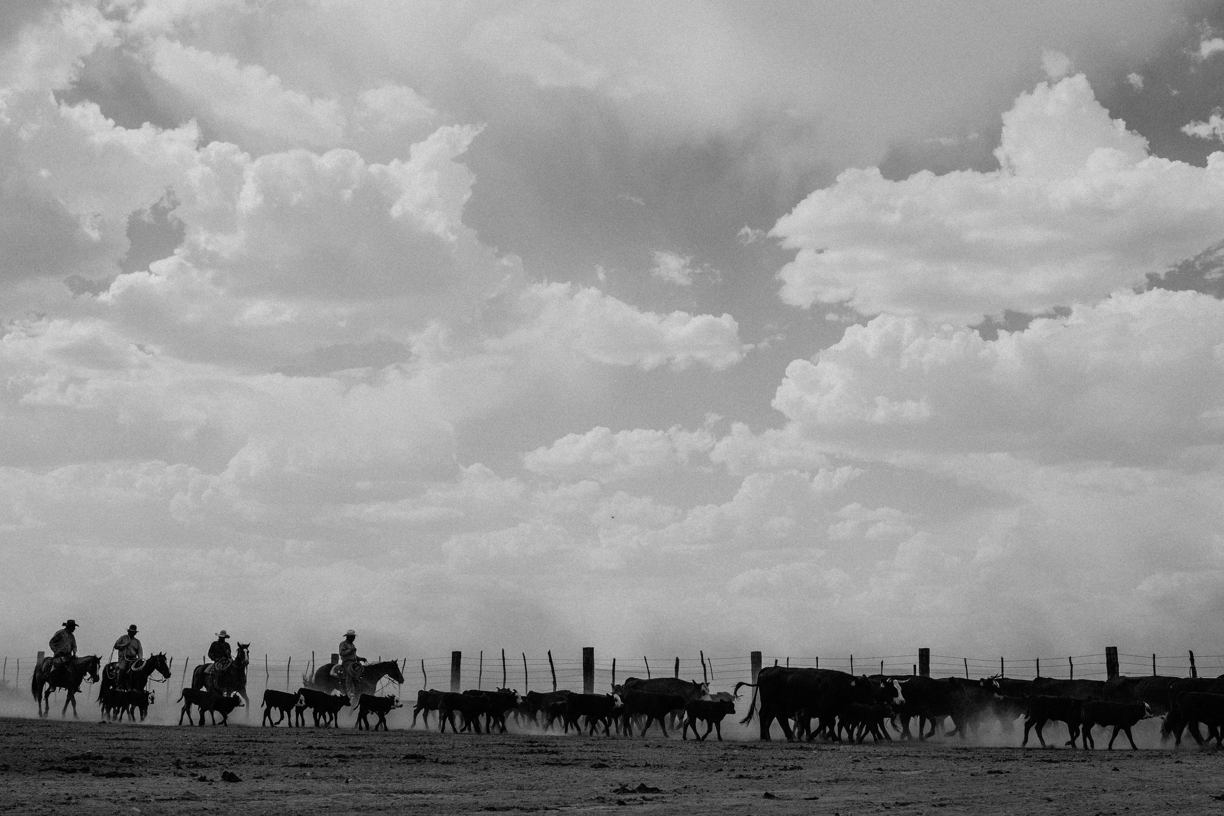 cattle-drive-8723.jpg