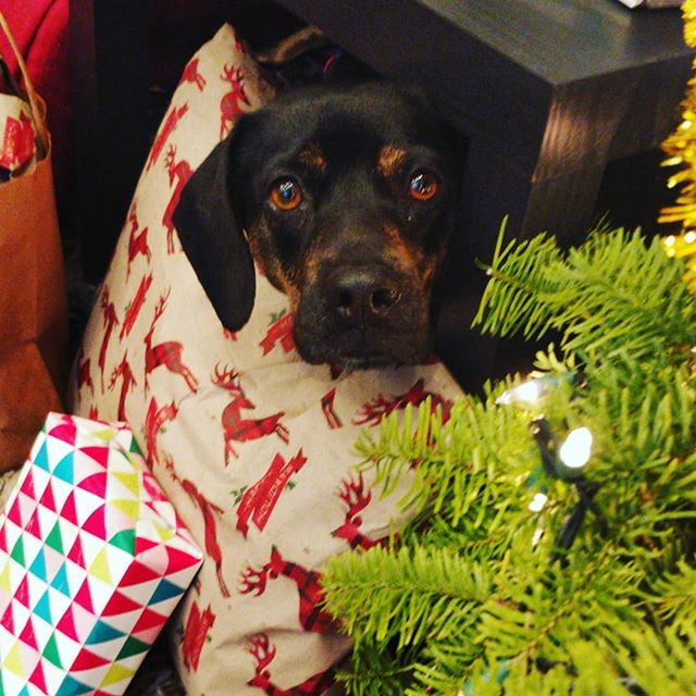 Can I has Xmas yet? Macy's first Christmas!
