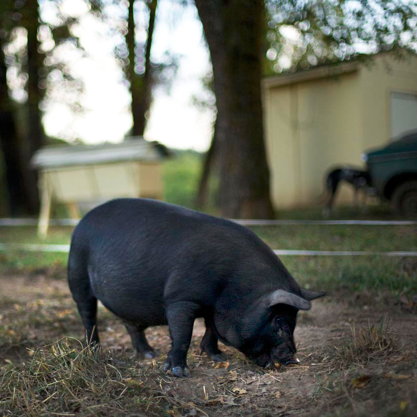pigs4-square-web.jpg