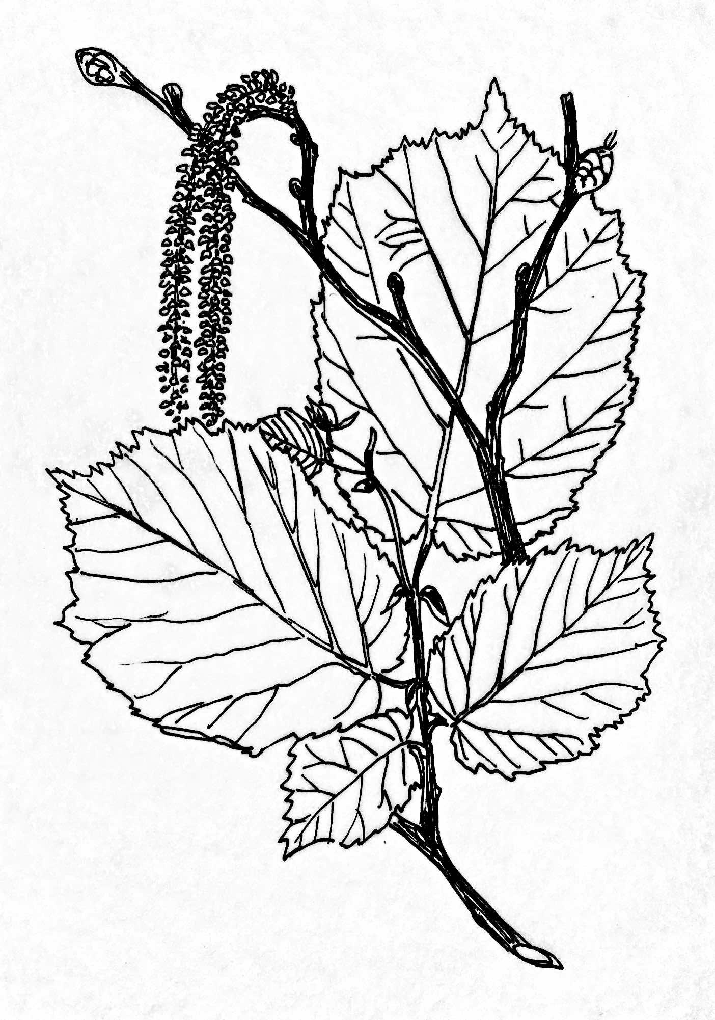 Hazel illustration for Hudson Plant Tissue Culture, 2018