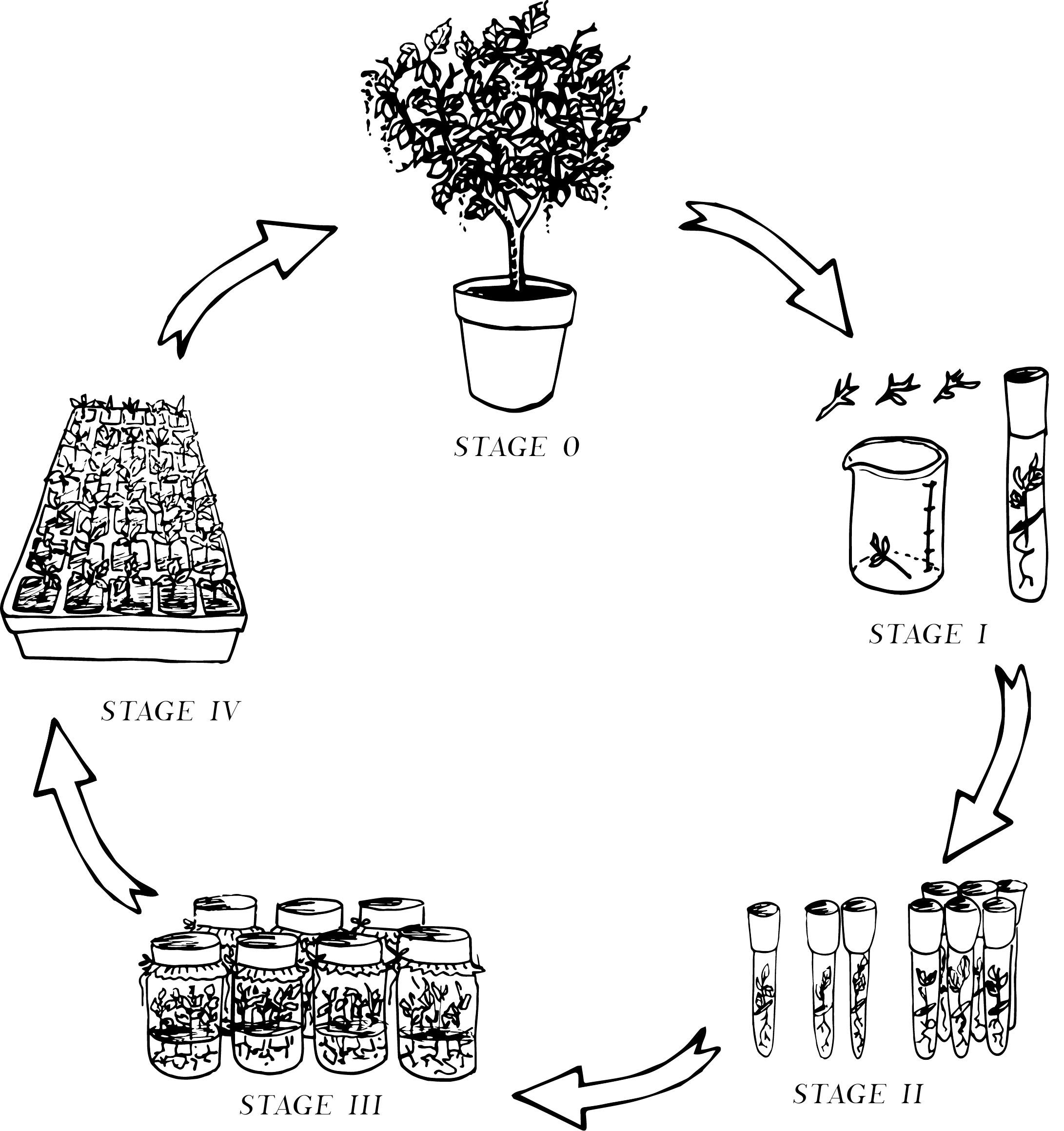 Illustration for Hudson Plant Tissue Culture, 2018