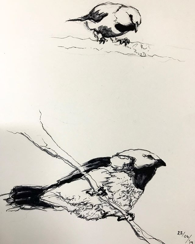 Even the tiniest creatures matter in our interdependent net of life. Thank you @cwatson_studio for bringing us all together for this cause. #1000finches #blackfinchproject #blackthroatedfinch #contemporarydrawing