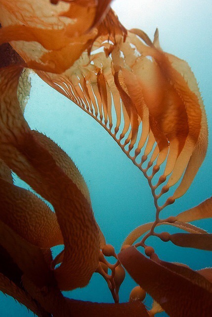 seaweed..