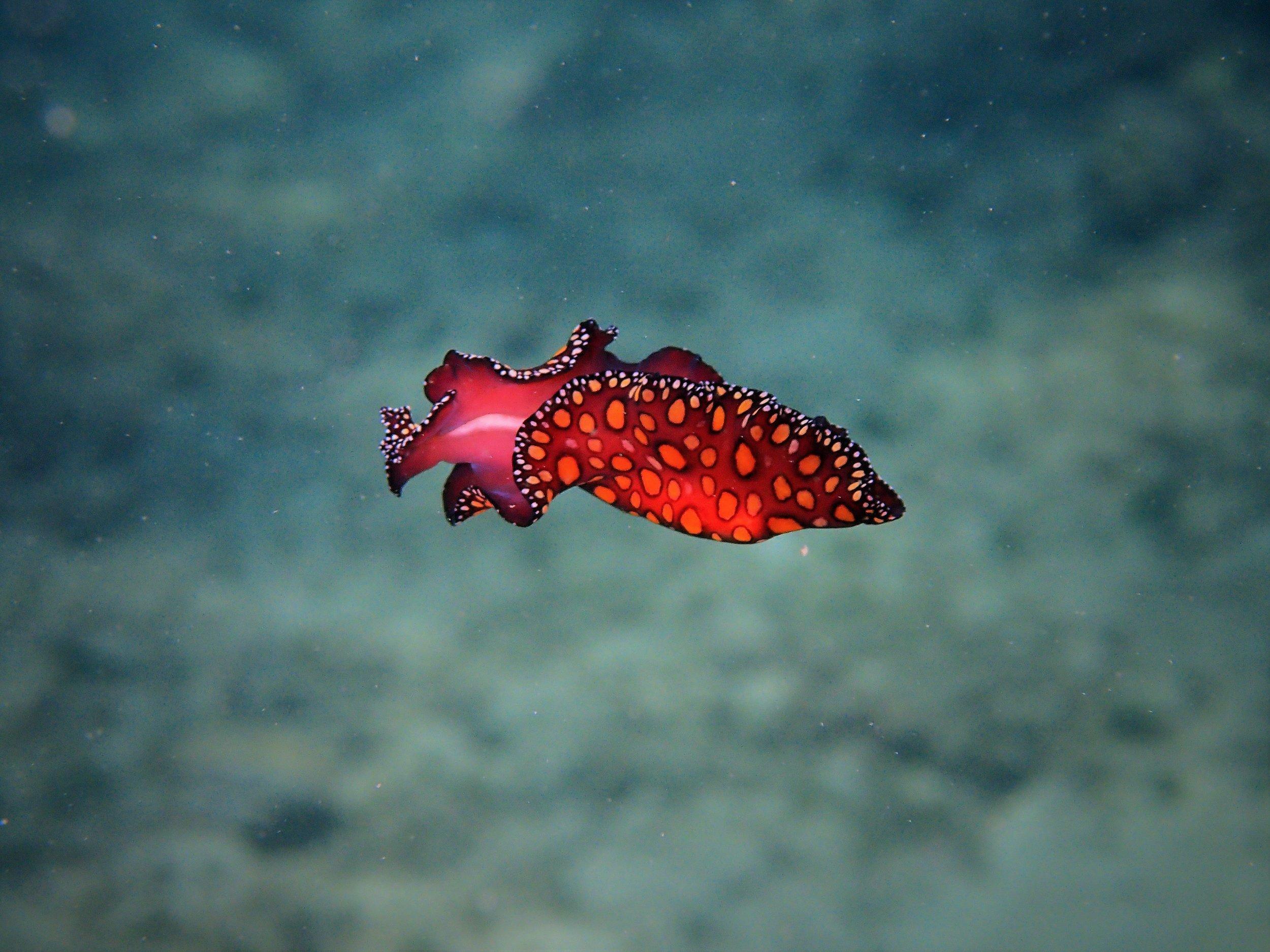 leopard sea slug2.jpg