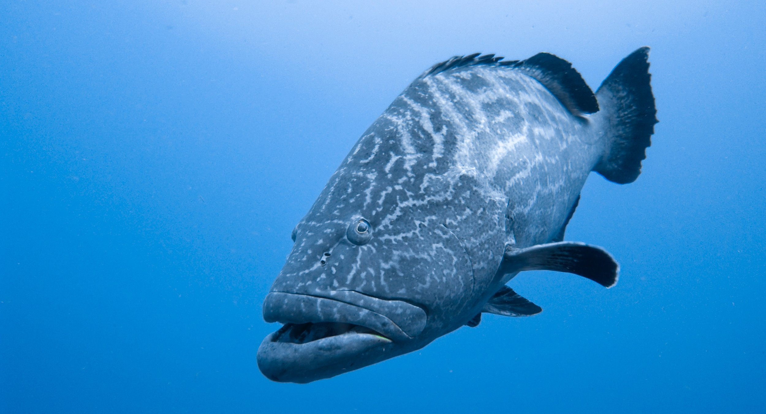 BlackGrouper