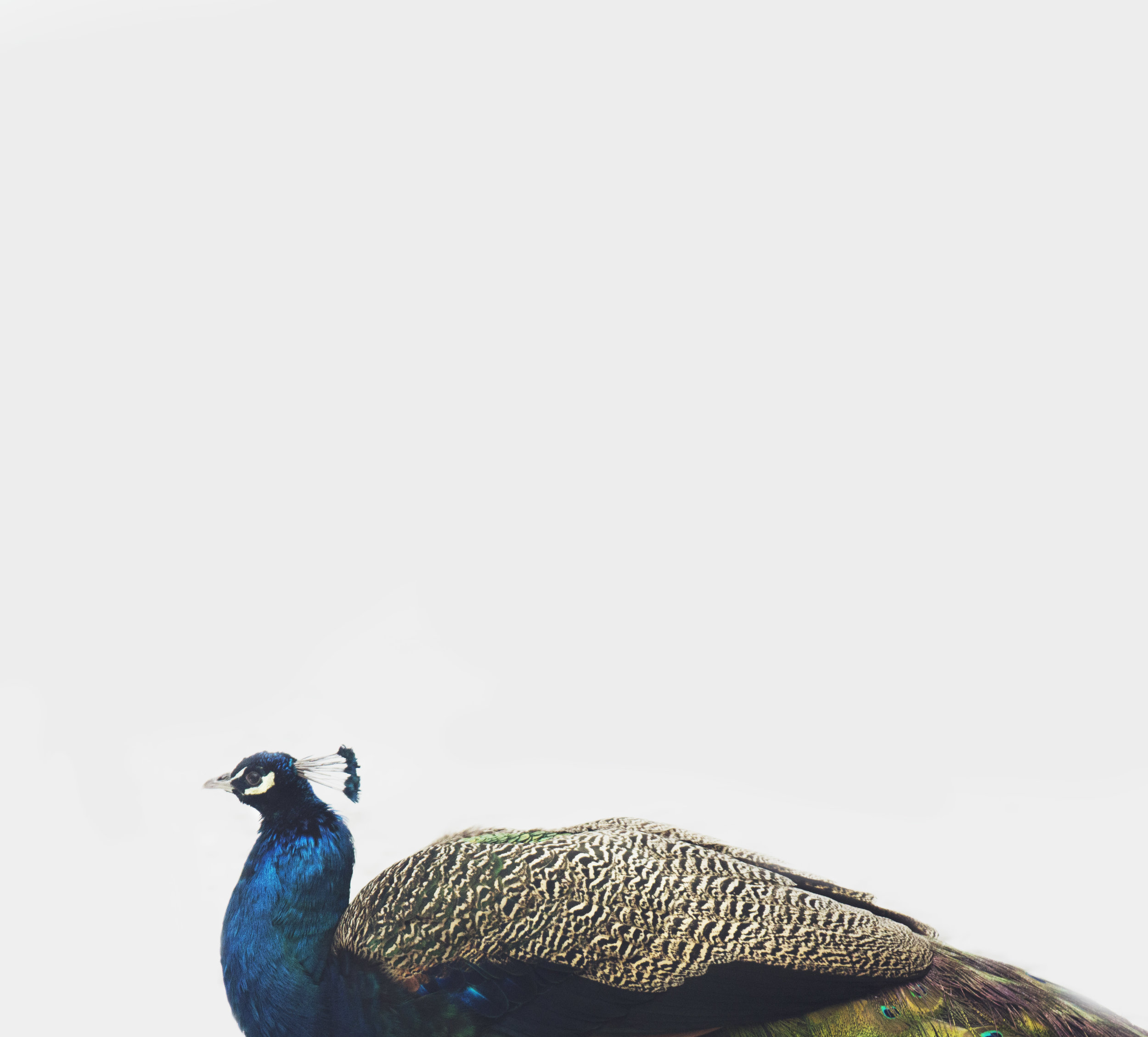 fancy-peacock.jpg