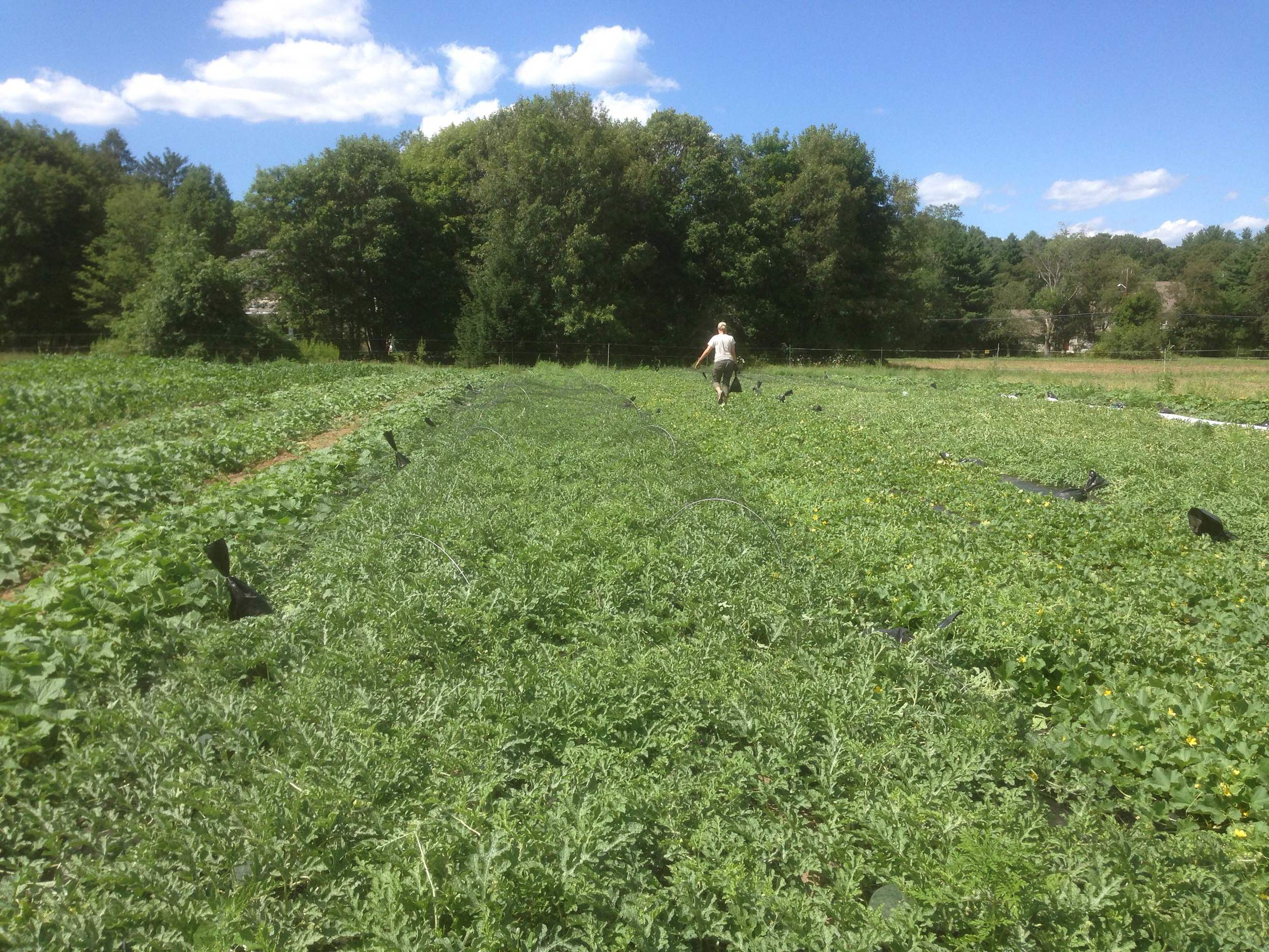 Covering the melon field with netting to keep crows and coyotes out.