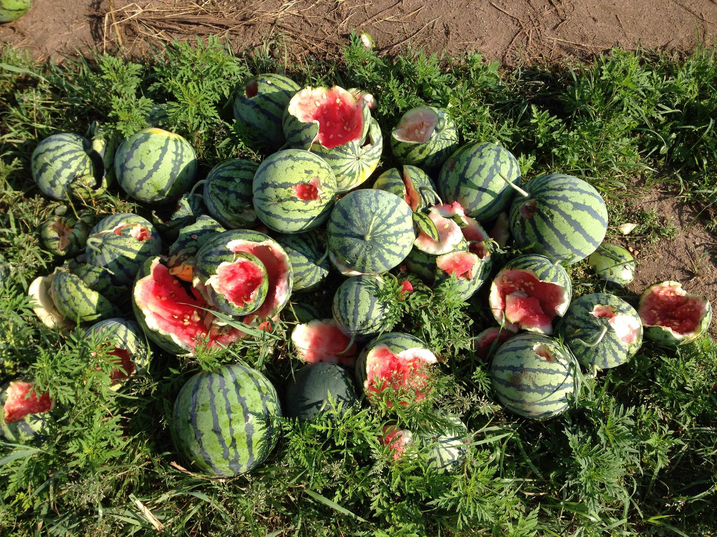 Some of the eaten melons culled from the field.