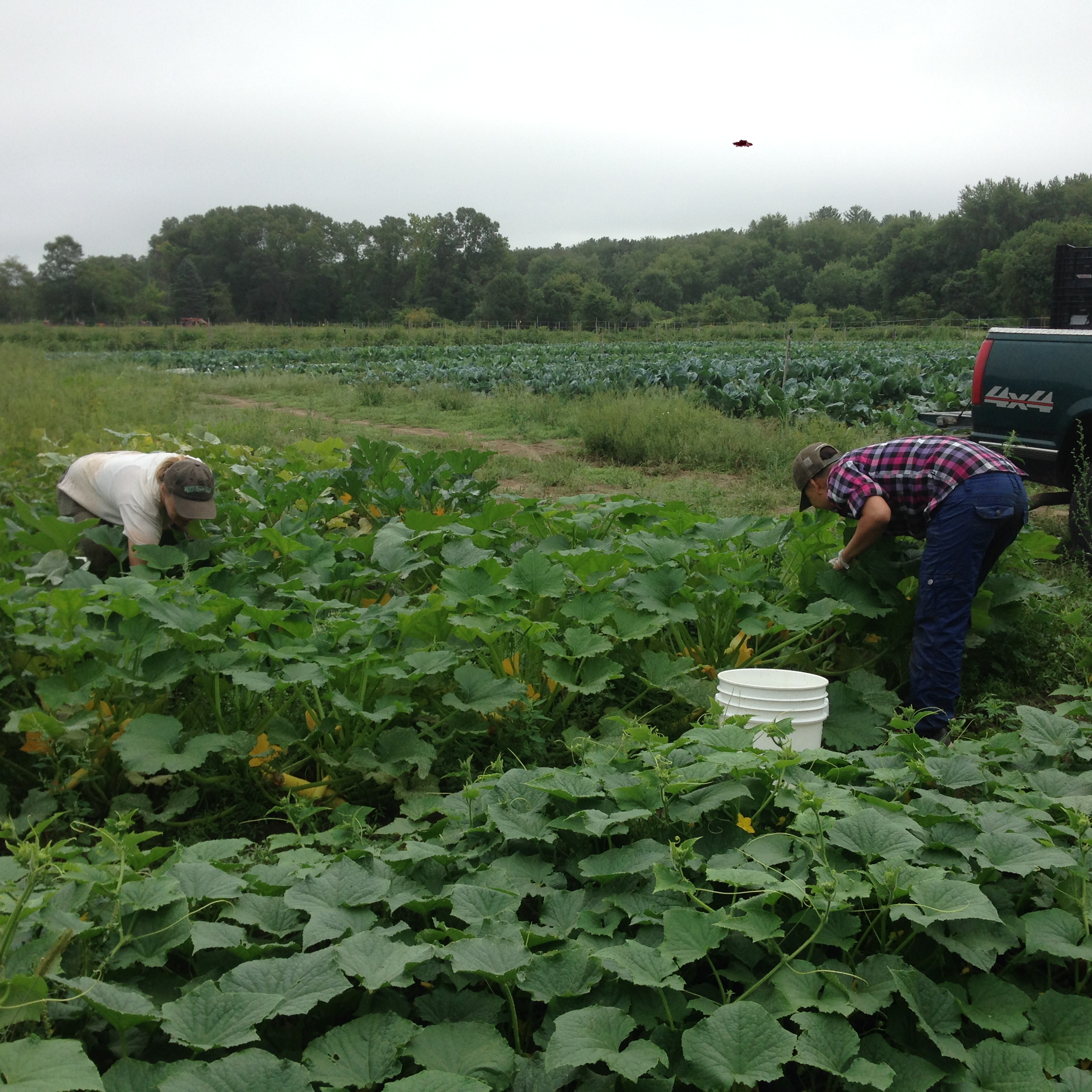 Lise and our all-star Monday morning volunteer Caleb picking summer squash