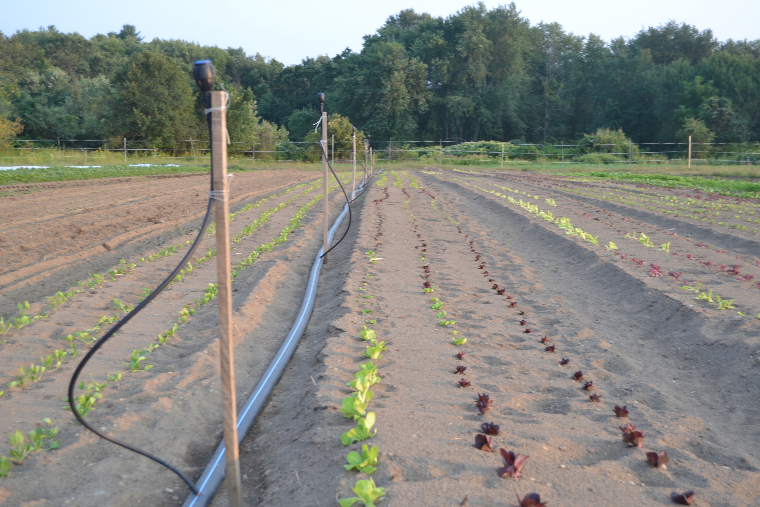 Believe it or not, these lettuce seedlings were irrigated only 2 days ago!