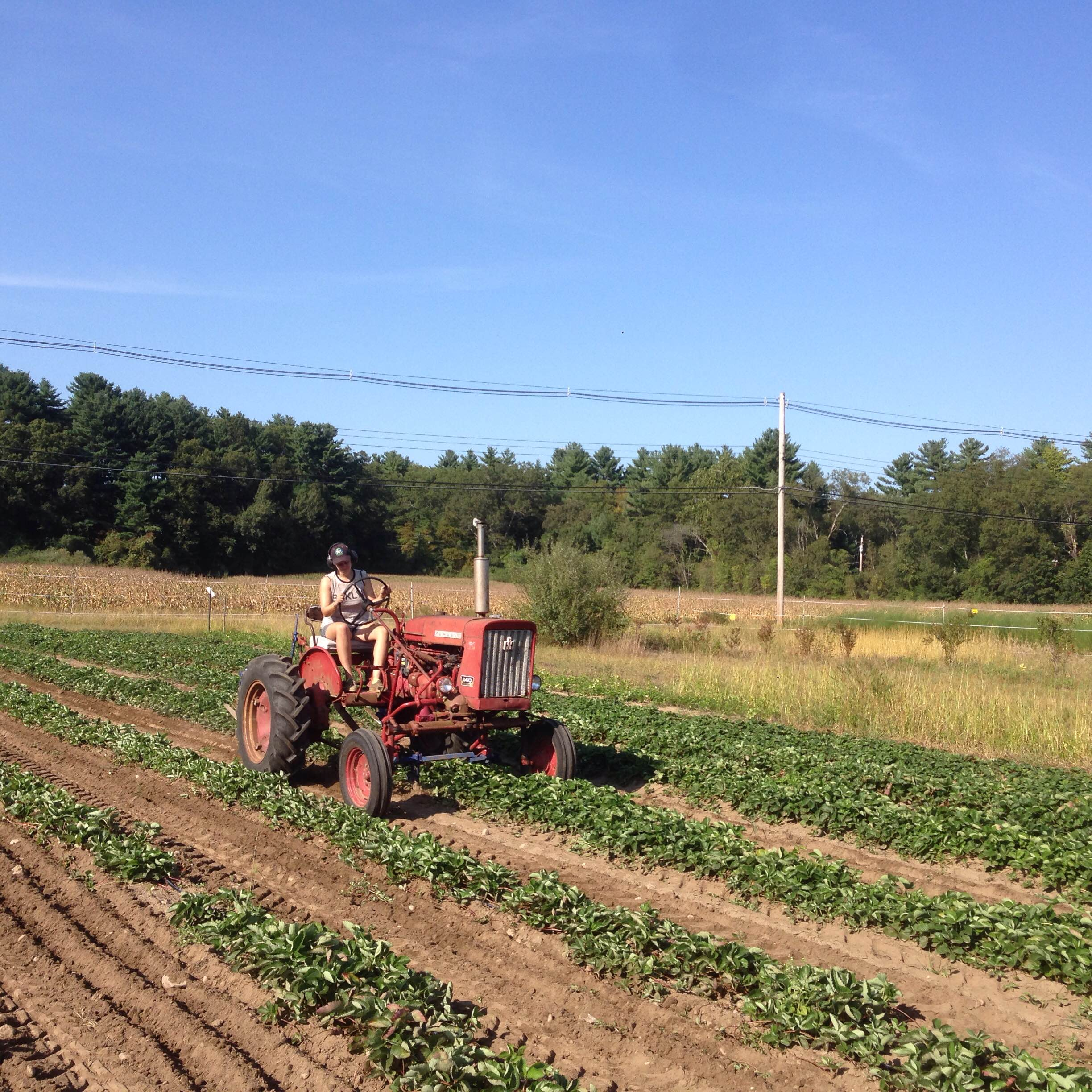 Rachel uses the sweeps to cultivate the 2016 strawberry plants.