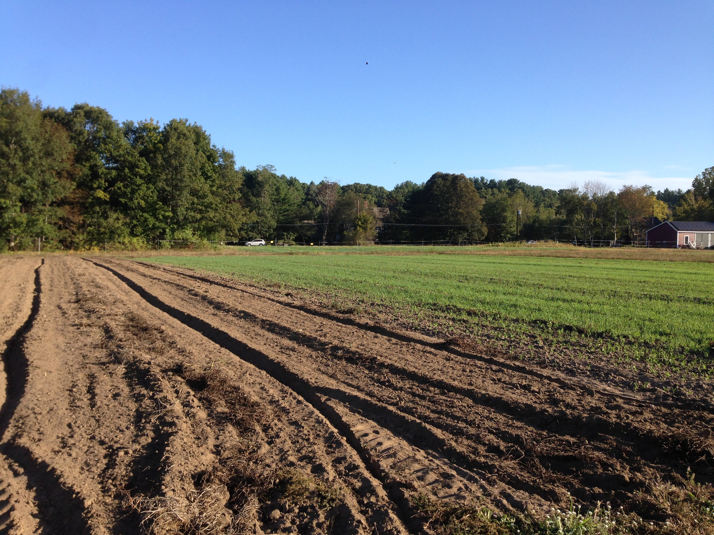Peas and oats coming up next to a section of field ready to be seeded with winter rye.