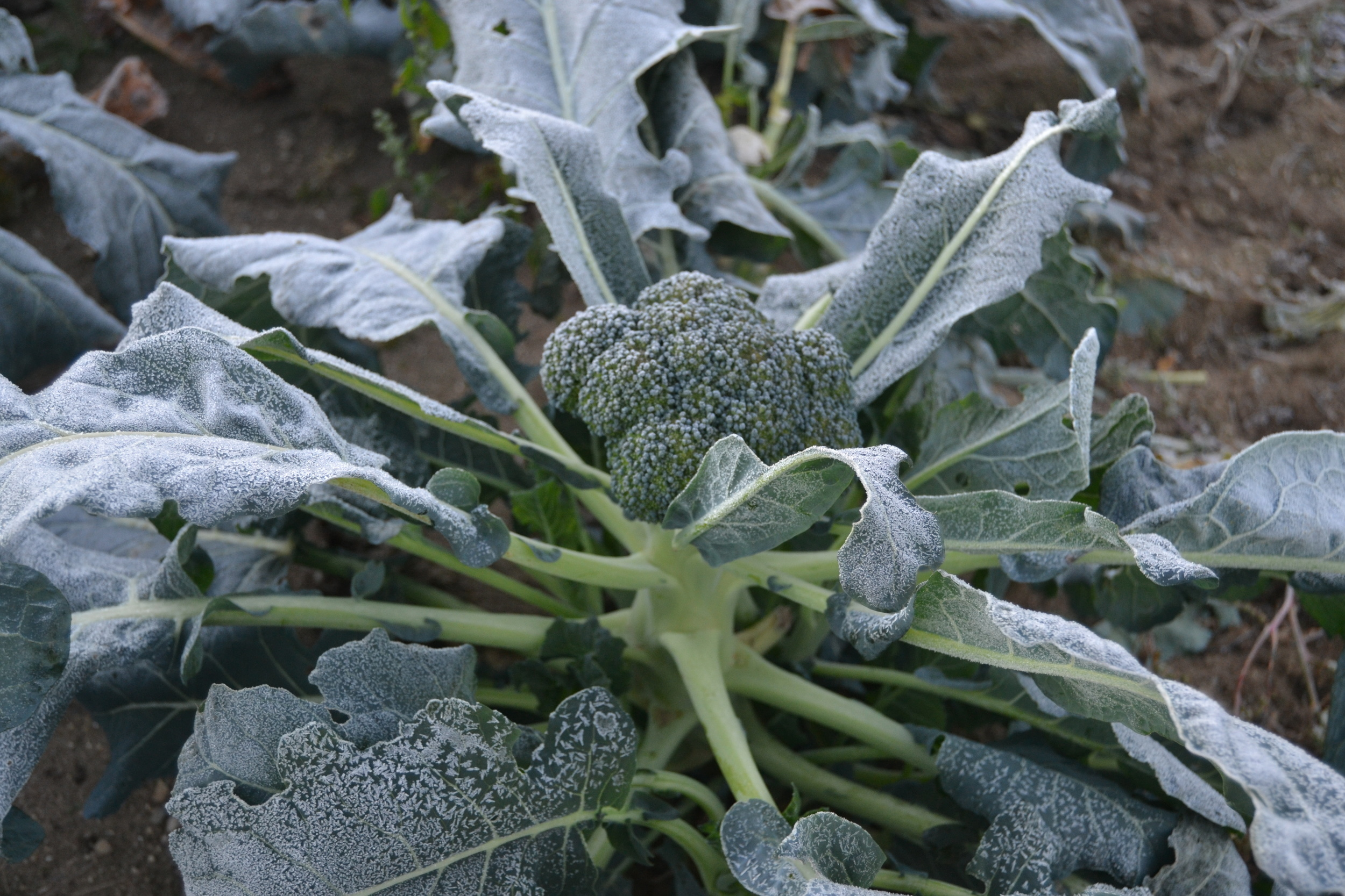 Icy broccoli on Monday morning after the unusually low temps on Sunday night