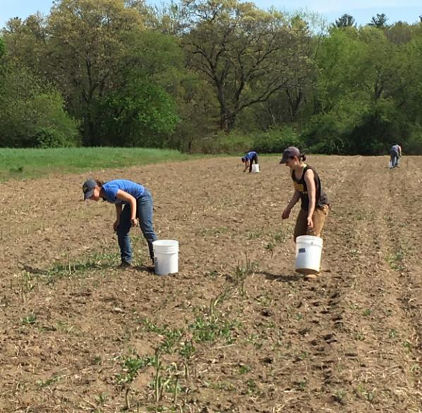 Melissa, Lauren, Wyatt, and Ethan work the asparagus harvest