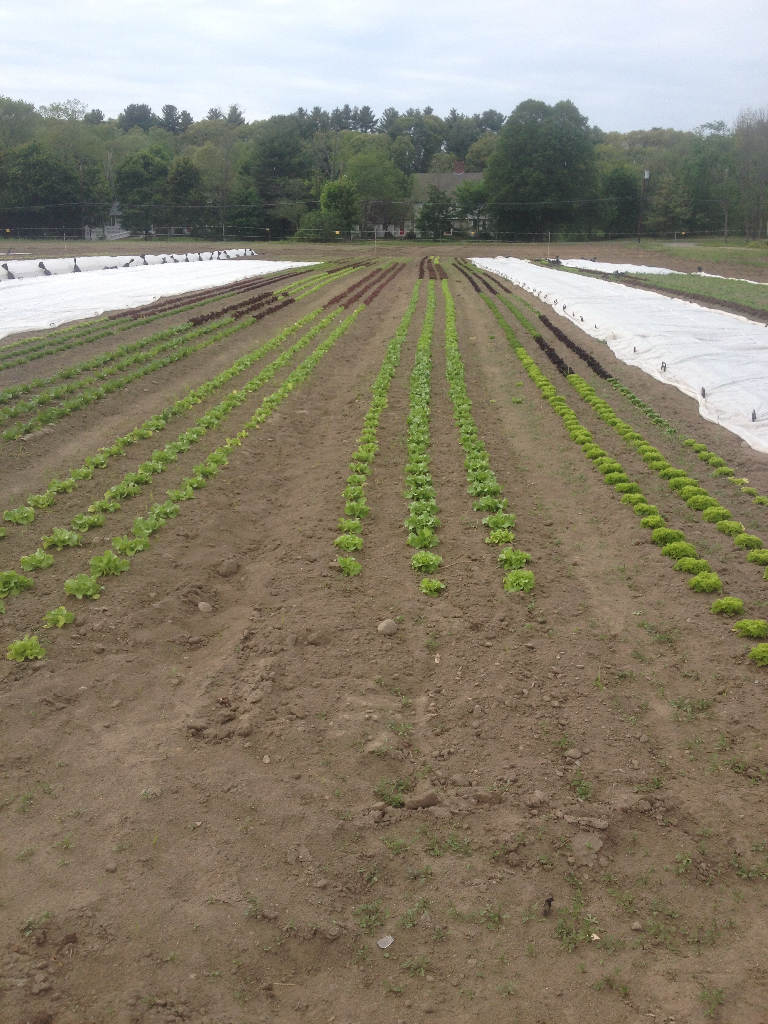 Lettuce and Salanova surrounded by greens covered with row cover to protect against flea beetle damage.
