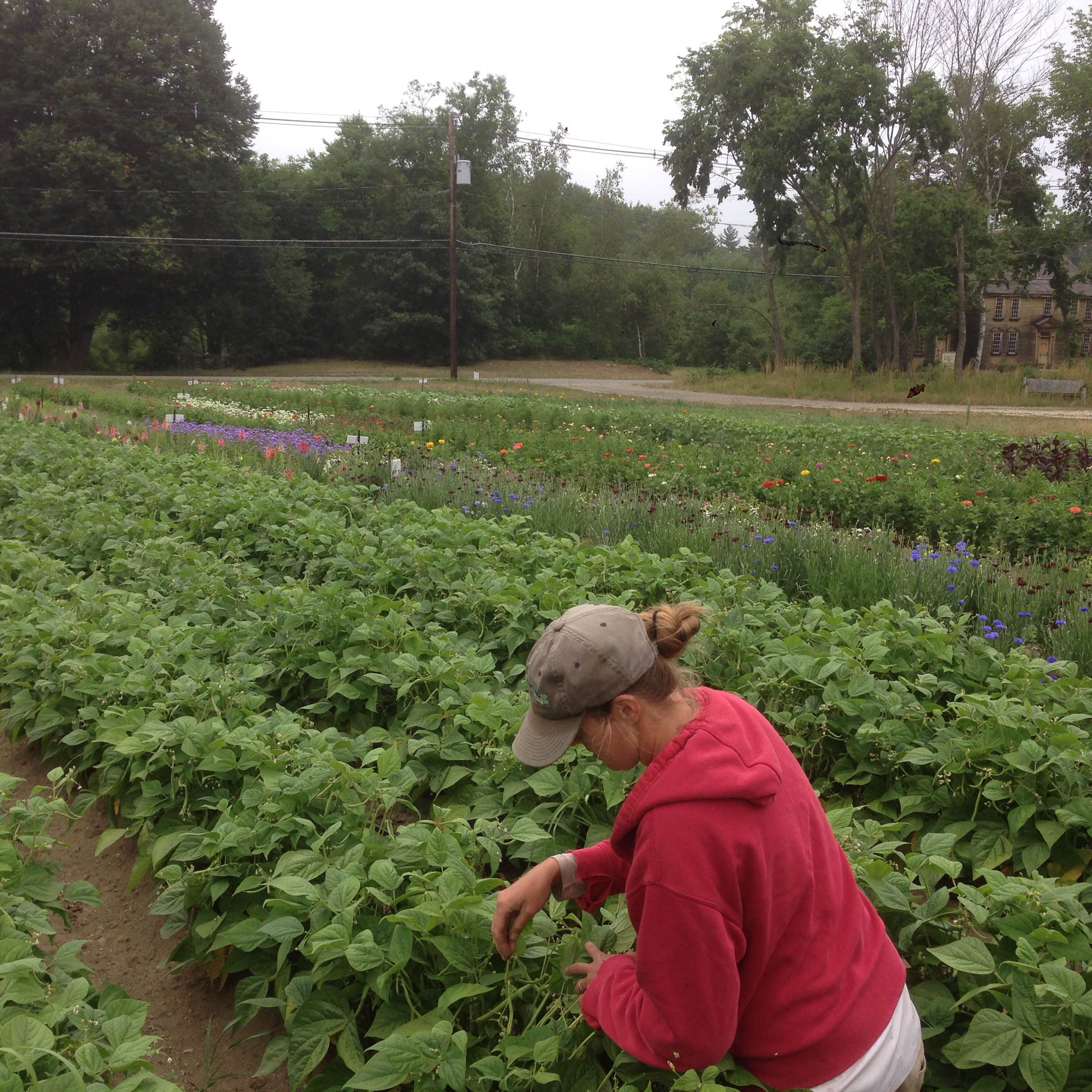 Lise harvests green beans for the farm store with a view of our blooming flower field.